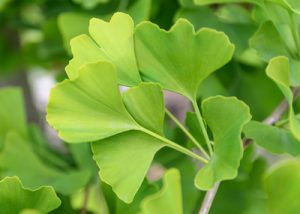How Ginkgo Biloba Aids with Aging